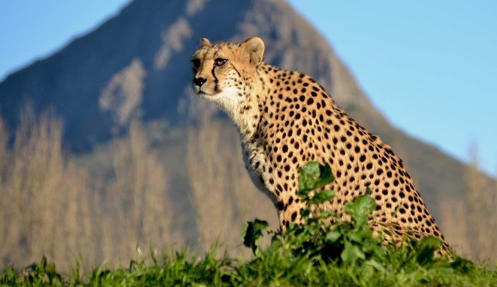 Leopard auf der Ashia Farm